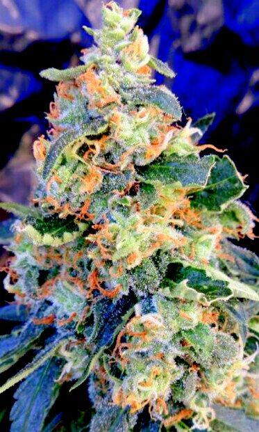 Planta de cannabis o marihuana