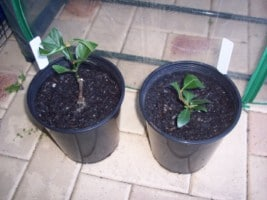 Plantar khat