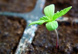 plantulamaruja
