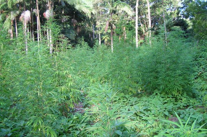 Variedades cultivadas en África Central