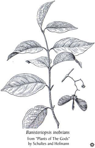 banisteriopsis inebrians