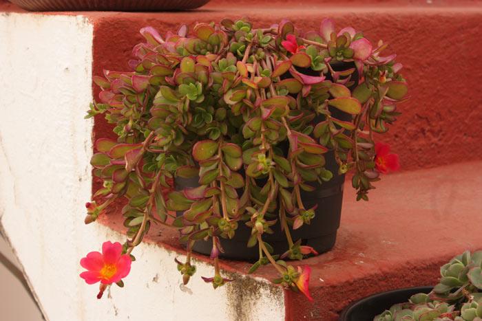 Planta con función de reservorio para la fauna auxiliar en exterior. Ideal para enemigos naturales que en su dieta precisan de polen como nuestros ácaros