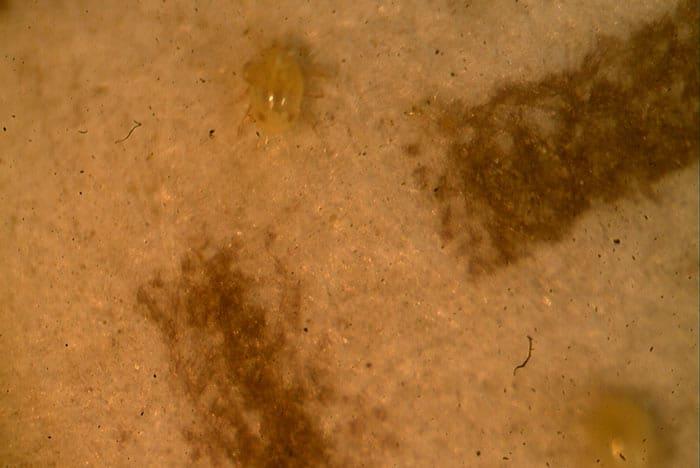 Individuo adulto fotografiado mientras sale del sobre-dispensador. Obsérvese la dos manchas rojas en la parte posterior del cuerpo, característica de típica de esta especie.