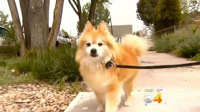 El perro pomerano, de 14 años, recibe dosis de un suplemento con marihuana para tratar su epilepsia (KCNC/CBS Denver)