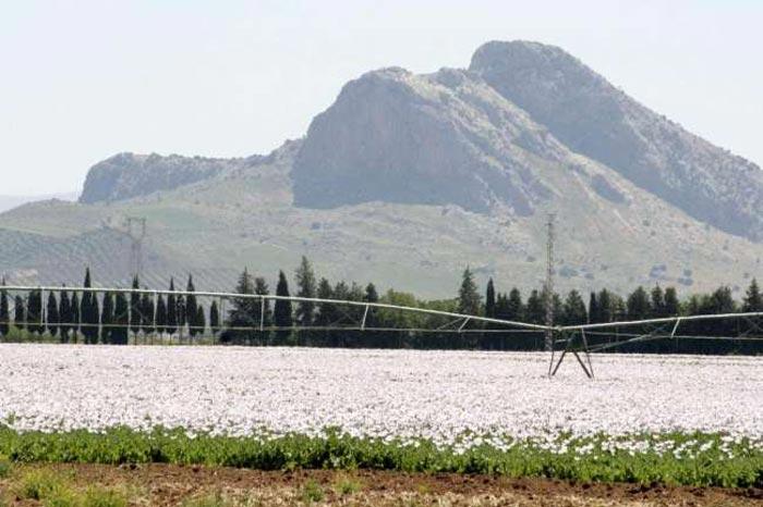 Plantación de opio legal en Antequera, al fondo la Roca de los Enamorados