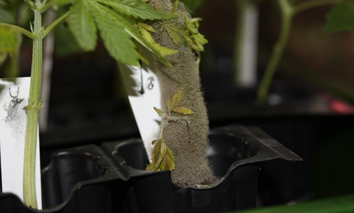 ¡Monstruosa esporulación de Moho Gris durante el enraizado de esquejes!. Las condiciones ambientales y la debilidad de los esquejes facilitaron la propagación vegetativa de este hongo.