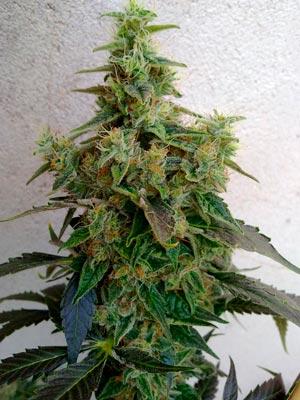 Dieseltonic (foto de Resin Seeds)