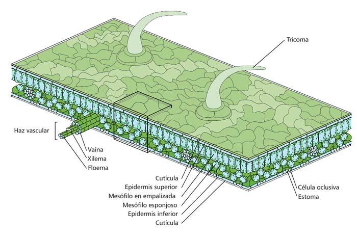 Esta es la representación de la estructura de una hoja con sus distintas partes.