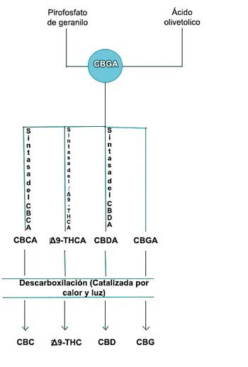 Biosintesis cannabinoides