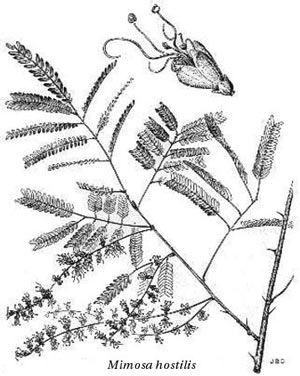 mimosatenuiflorabn