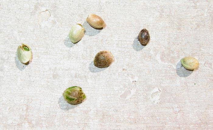 Diferentes estados de la germinación de semillas de cannabis
