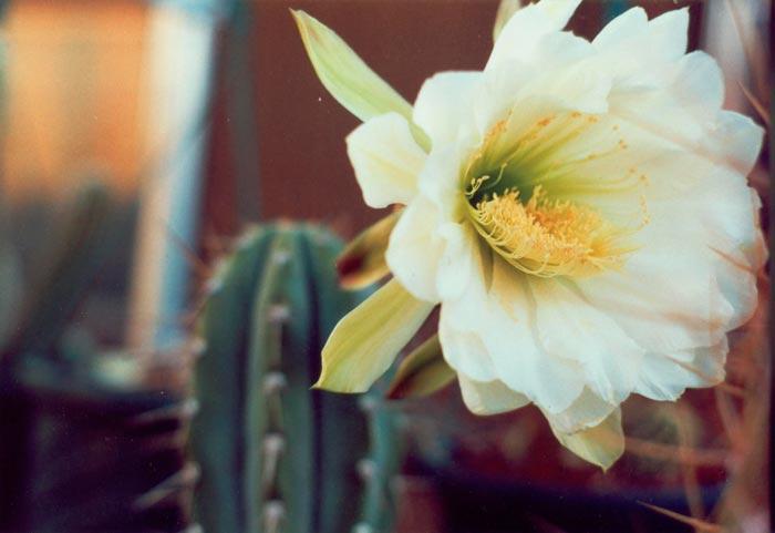 Trichocereus en flor