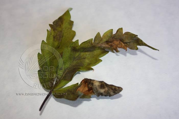 Las necrosis foliares además de dañar las células fotosintéticas aumentan la traspiración del vegetal. Esto hace que en condiciones  de elevada temperatura o radiación solar se deshidraten. La perdida de hojas repercute directamente en la producción final.