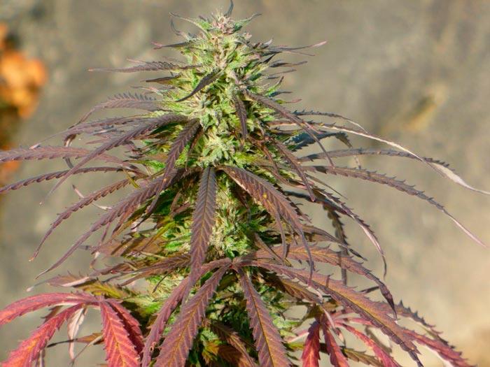 Libanesa de The Real Seed Company fenotipo rojo