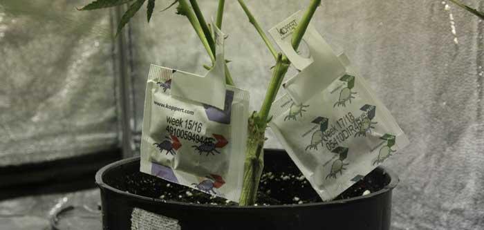Protección activa. En la foto una planta con dos dispensadores de ácaros depredadores: a la izquierda para los Amblyseius californicus y a la derecha para los Amblyseius swirskii.