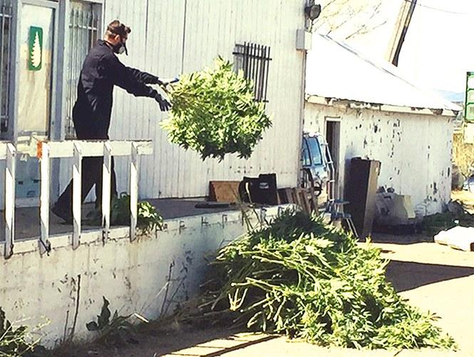 Un policía saca plantas de mariguana de una vivienda en Denver durante un operativo contra su cultivo y venta ilegal realizado el pasado 14 de abril. También fueron allanadas otras casas y bodegas de la zona. Foto: AP