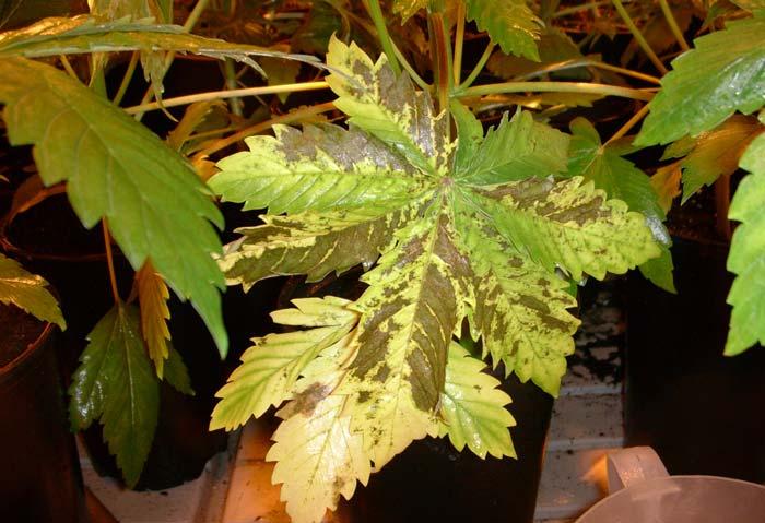 Chancro en pleno desarrollo vegetativo. La necrosis del tallo es uno de los síntomas más típicos de estas enfermedades cada día más frecuentes.