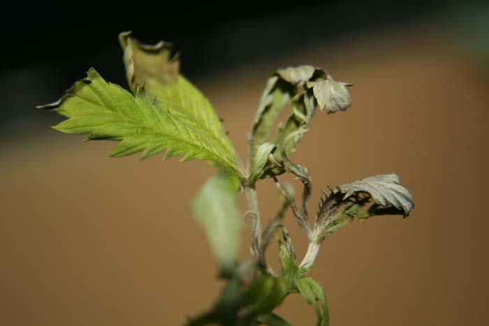La mayoría de los hongos generan sus esporas vegetativas fuera del vegetal. En la foto ataque de Botrytis cinerea, las condiciones ambientales favorecieron la esporulación sobre la hoja y peciolo.
