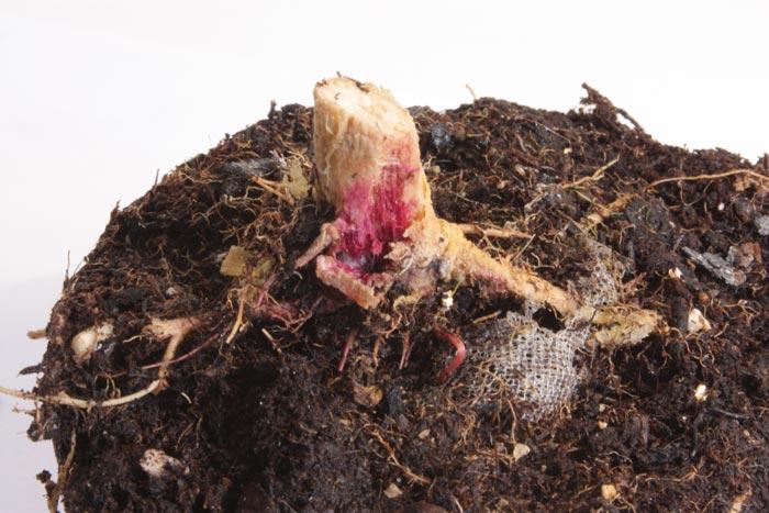 Fusarium radicular. En la foto un ataque severo de Fusarium solani a una planta madre. Obsérvese la coloración de cuello y de las raíces.