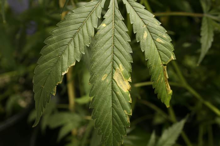 En los cultivos de interior las corrientes de aire son generadas por los ventiladores, agitan las hojas y ramas. Cuando estas friccionan entre sí repetitivamente aparecen unas lesiones de color gris o marrón, como se aprecia en la foto.