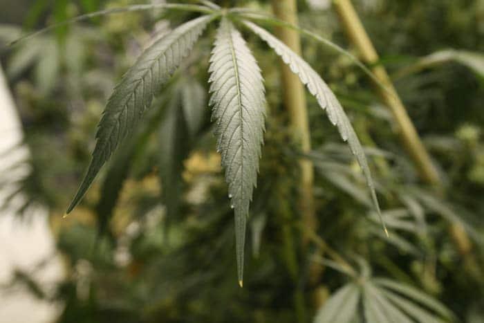 Las puntas quemadas de los foliolos de la hoja en la foto, indican que la planta ha absorbido demasiado nitrógeno. Una EC muy alta causa quemaduras también en los bordes de los foliolos, comenzando por las hojas más viejas