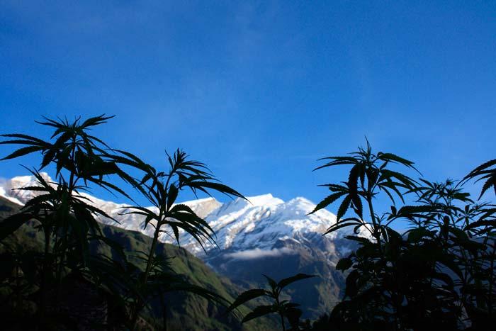 PLantas de marihuana en guerrilla al atardecer