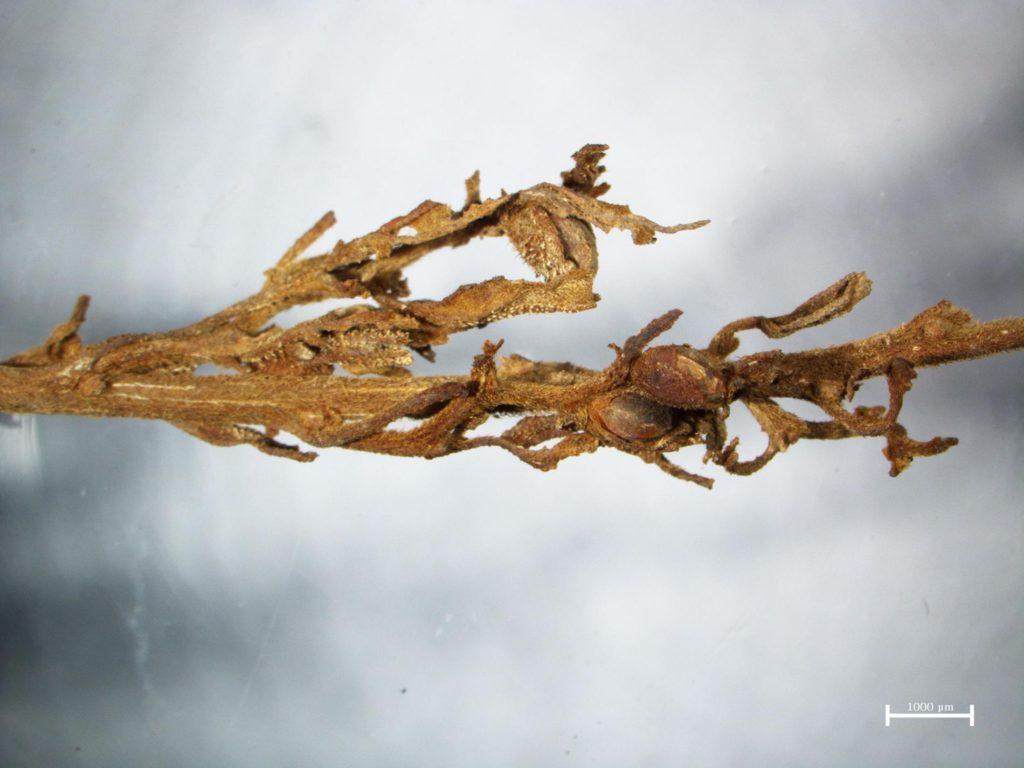 """Muy cercano y personal con una de las antiguas plantas de cannabis. Todavía se pueden distinguir los pegajosos tricomas del THC lleno de """"pelos"""" - incluso después de 2.500 años! Crédito: Höngen JIANG"""