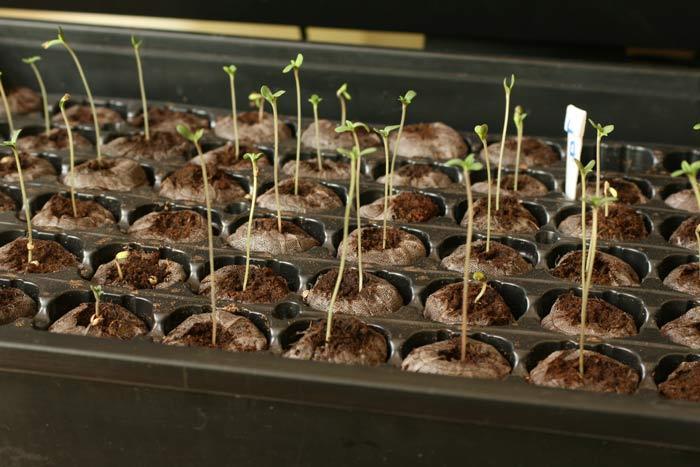 La elaboración de semillero como se observa en la foto no es una práctica común en la cannabiscultura española. En general los cultivadores tienden a realizar siembras directas en macetas grandes y con sustratos poco adecuados, esto puede generar enormes bajas.