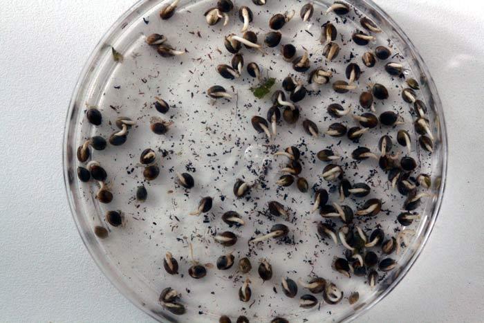 En la foto unas semillas de cannabis germinadas en menos de 24 horas con la técnica avanzada de germinación aquí explicada. Fíjense en el porcentaje de germinación, ¡todo un Récord Guinnes!