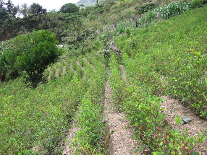 plantacion de coca