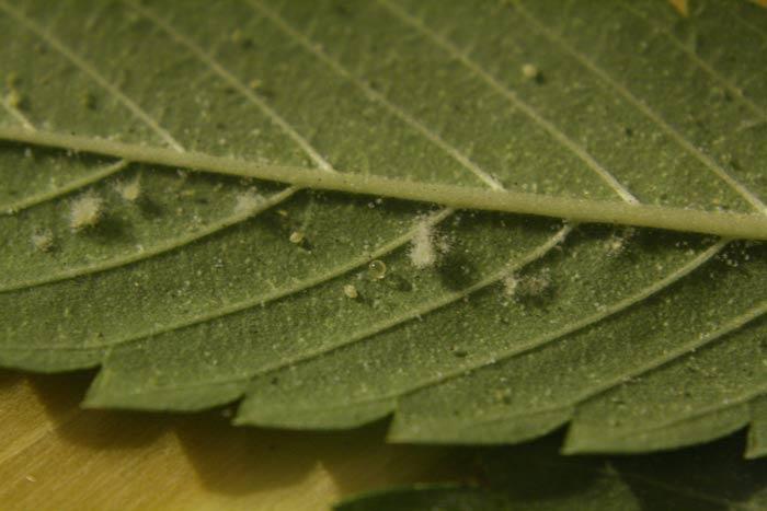 Entomopatógeno infectando a una colonia de moscas blancas.