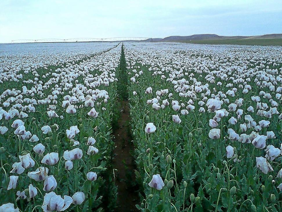 Plantación de opio en Valladolid