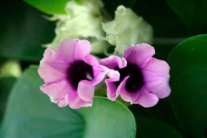 hawaiian baby