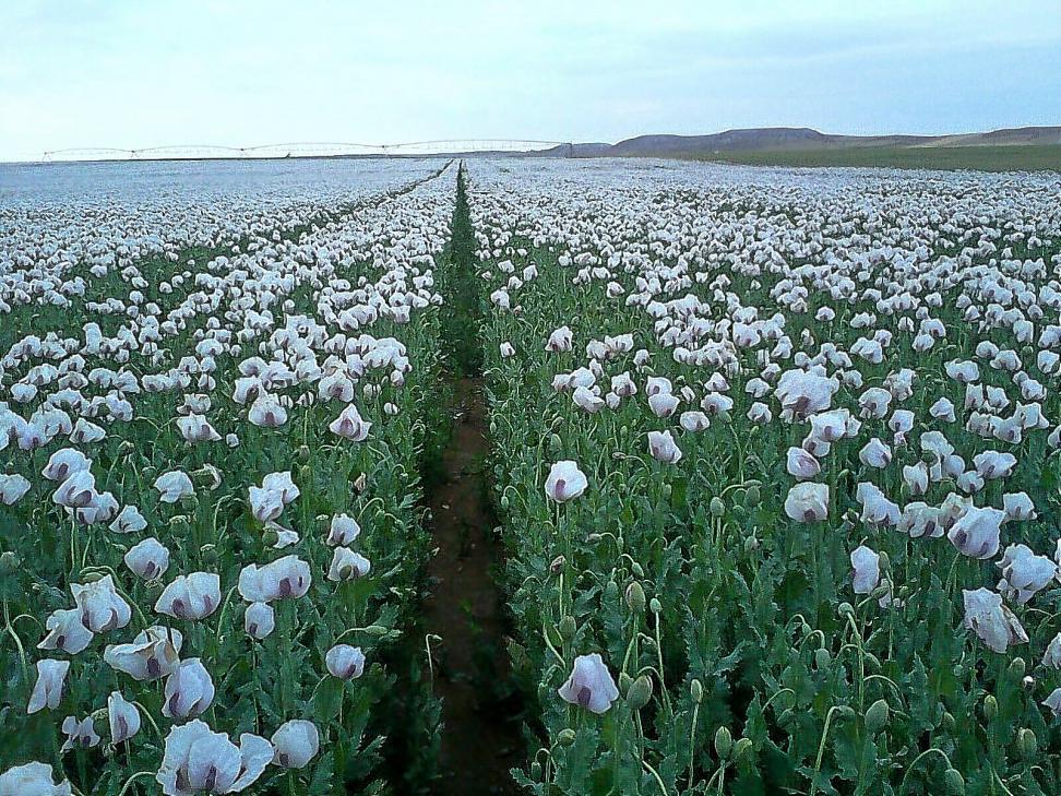 Plantación de opio en Valladolid. Ríase usted de los talibanes