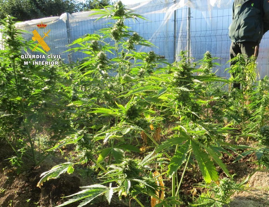 plantacion gc