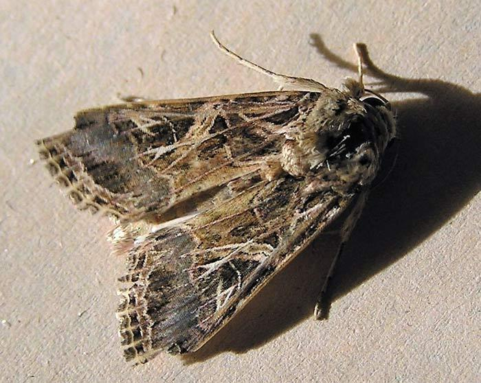 5.Spodoptera littoralis, una de las polillas que afecta al cannabis (Nir Ofir, Wikimedia Commons