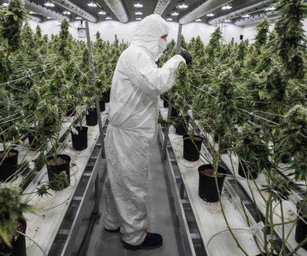 Un técnico de una plantación canadiense examina meticulosamente las plantas de cannabis