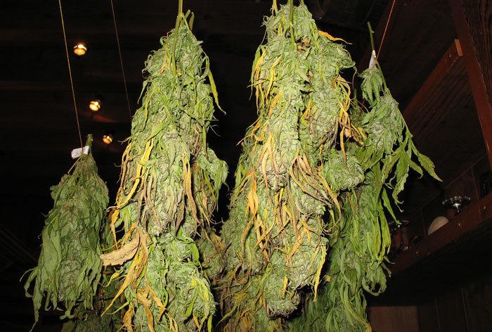 El proceso de secado influye en la expresión de cannabinoides