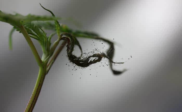 Los hongos contaminantes como él de la foto, se recogen durante el cultivo y se desarrollan en el secado y almacenamiento