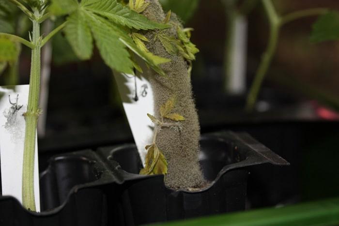 SUPER esporulación del hongo Botrytis cinerea.