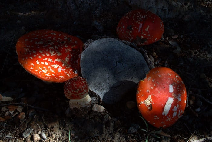 Amanita muscaria. Photo by Raúl del Pino