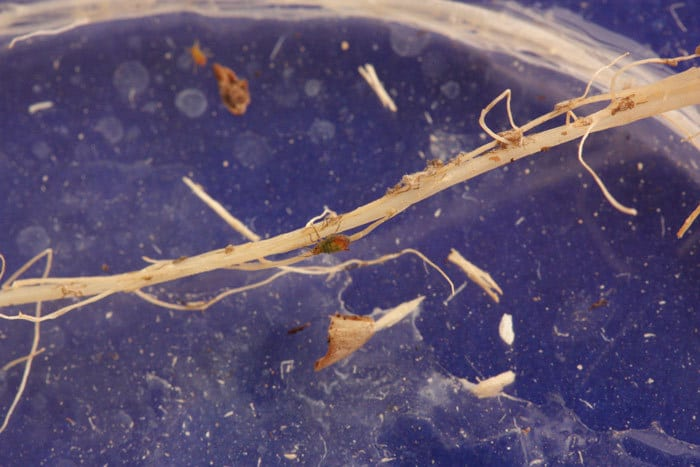 Individuo áptero de Rhopalosiphum padi.