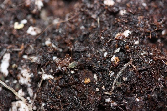 Especie presa para los Aphidoletes aphidimyza: Myzus persicae.