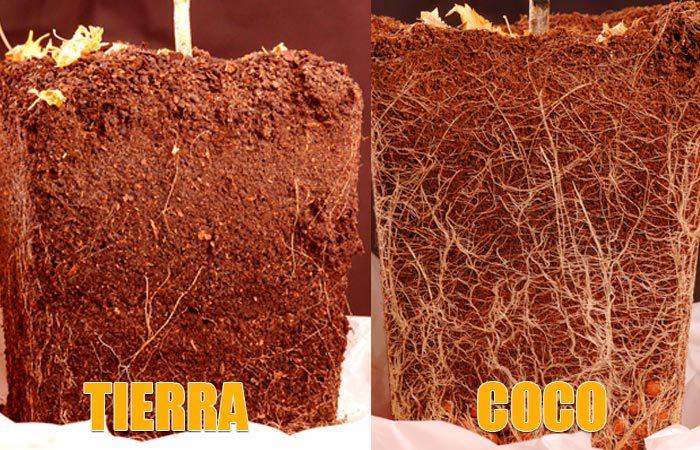 Direfencias en el desarrollo radicular del cultivo en tierra y en coco.