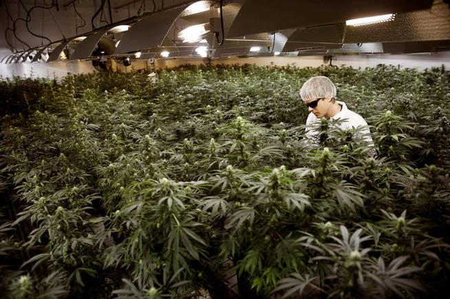 Un 'grower' riega plantas de marihuana en un invernadero en Ontario (Canadá). (Reuters)