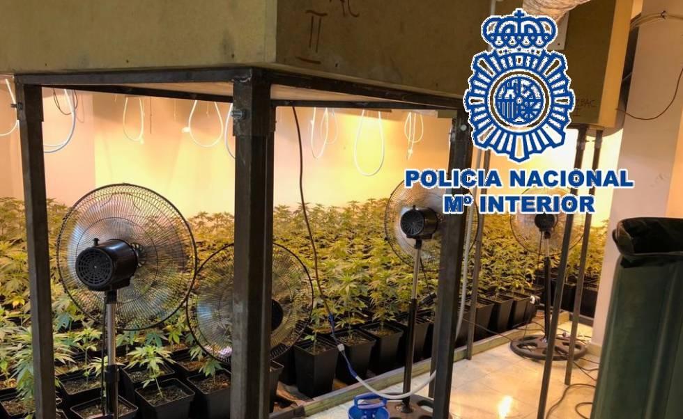 Plantas de marihuana incautadas por la Policía Nacional en Málaga, este viernes.