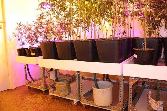 El uso de bandejas de cultivo es fundamental para evitar los encharcamientos que son tan nefastos para las plantas de cannabis.