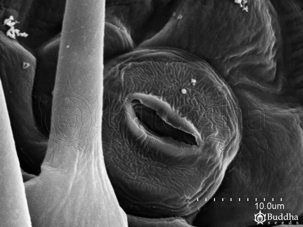 Detalle de un estoma que muestra la textura de su superficie