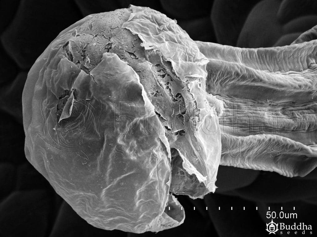 Detalle de un tricoma glandular con la cutícula resquebrajada
