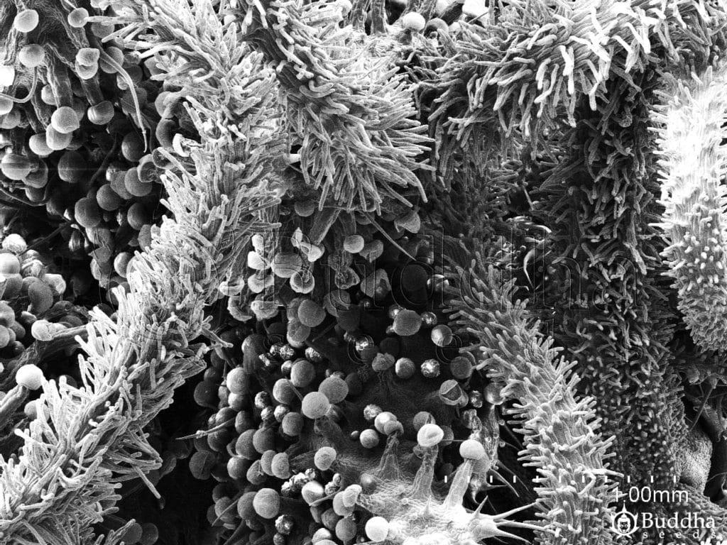 Inflorescencia en la que se observa superficies de ovarios y estigmas
